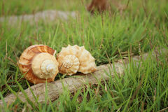 Conch shell on a background of green grass. Royalty Free Stock Image