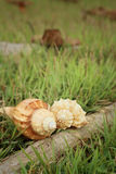 Conch shell on a background of green grass. Royalty Free Stock Images