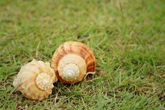 Conch shell on a background of green grass. Stock Photo