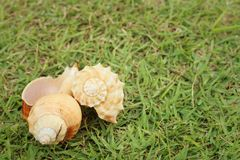 Conch shell on a background of green grass. Stock Photography