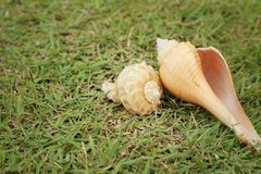 Conch shell on a background of green grass. Royalty Free Stock Photography