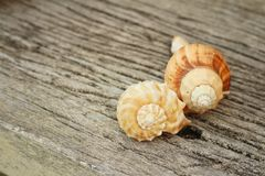 Conch shell on a background of wooden. Royalty Free Stock Photos