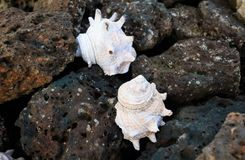 Conch shell on the basalt rock Stock Photography