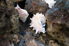 Conch shell on the basalt rock Royalty Free Stock Photos