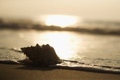 Conch shell on beach. With waves Stock Image