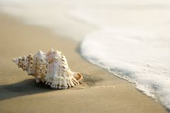 Conch shell on beach royalty free stock photo