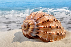 Conch shell on beach Royalty Free Stock Image