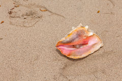 Conch Shell On Beach Royalty Free Stock Images