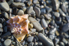 Conch shell on beach. Beauty conch shell on the pebble beach Royalty Free Stock Images