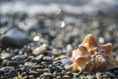 Conch shell on the beach. Beauty conch shell on the pebble beach Stock Photos
