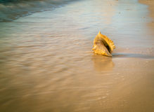 Conch shell beach Caribbean. A shell on the  coast of Grand Turk Royalty Free Stock Image