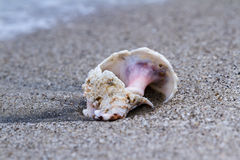 Conch shell on the beach. Close up of a n old conch shell on a sandy beach Royalty Free Stock Photo