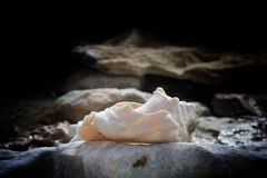 Conch Shell. On beach at Grand Turk Island Royalty Free Stock Images