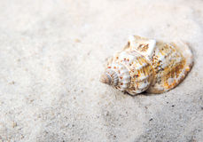 Conch shell at the beach. Selective focus on the foreground with copy space. Sand and sea shell Stock Photos