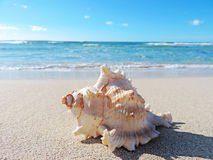 Conch shell at the beach Stock Image