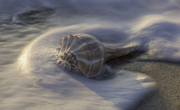 Conch shell on beach at sunrise Stock Images