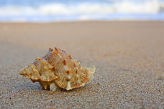 Shell on beach Royalty Free Stock Image