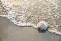 Conch shell on beach with waves.selective focus.  Stock Photography