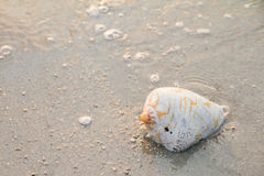 Conch shell on beach with waves.selective focus.  Royalty Free Stock Photography