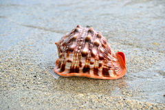 Conch Shell. Beautiful conch shell on the beach royalty free stock photo