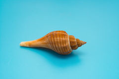 Conch shell on blue Royalty Free Stock Photos