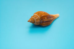 Conch shell on blue Stock Images