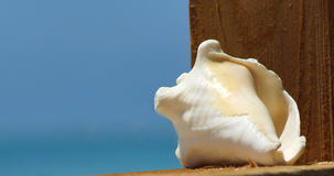 Conch Shell. Closeup of single conch shell with clear blue ocean background - space for copy stock images
