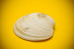 Conch shell close-up Royalty Free Stock Photography