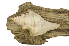 Conch shell on driftwood Stock Photo