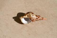 Conch shell on a floor. Brown spotted conch shell laying an a marble floor royalty free stock images