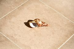 Conch shell on a floor. Brown spotted conch shell laying an a marble floor royalty free stock photos