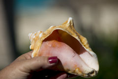 Conch shell in hand Royalty Free Stock Photography