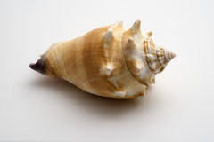 Conch Shell. A lovely conch shell, isolated on white Royalty Free Stock Photography