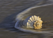 Conch shell in ocean waves Royalty Free Stock Photos