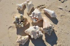 Conch Shell Stock Photos