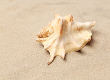 Conch Shell over sand. Sandy background. Close up. Royalty Free Stock Photos