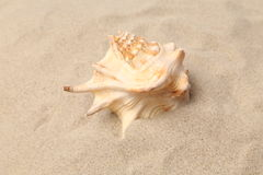 Conch Shell over sand. Sandy background. Close up. Stock Images
