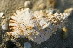 Conch shell in sand. Royalty Free Stock Images