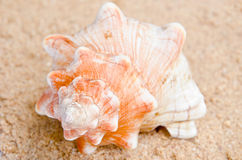 Conch shell. On sand background Stock Photography