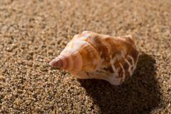 Conch shell on sand. Side view conch shell on sand stock images