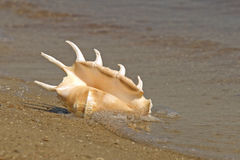 Conch shell in sea surf. Royalty Free Stock Images
