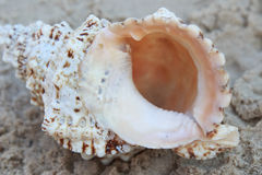 Conch Shell sitting on the sand Stock Photo