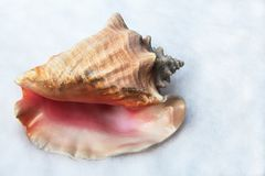 Conch shell in the snow Stock Photo