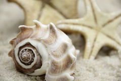 Conch Shell and Starfish on a Beach Royalty Free Stock Image
