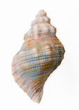 Conch shell, top view Royalty Free Stock Photography