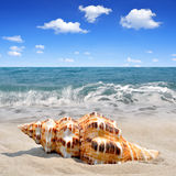 Conch shell Royalty Free Stock Image