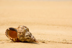 Conch shell on tropical beach (close up) Royalty Free Stock Images