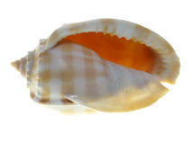 Conch shell underside Royalty Free Stock Images
