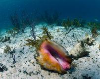 Conch shell underwater Stock Image