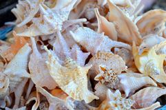 Conch shell variety cluster Stock Image